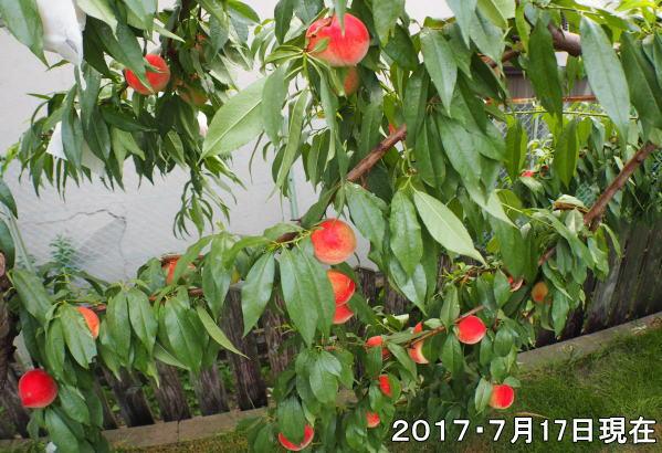 サマーカーテンフェスタ(桃狩り)